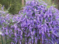 Hardenbergia Edna Walling Wild Wisteria --- For more Australian native plants visit austraflora.com