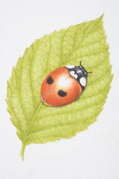 Print of Two-Spotted Lady Beetle, Two-spotted Ladybird (Adalia bipunctata), on green leaf