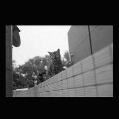 https://flic.kr/p/APGqfR   Cat November 2015  #cat #blackandwhitephotography