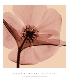 Steven Meyers xray photography of flowers