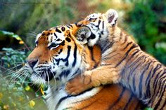 baby Tiger | Baby tiger