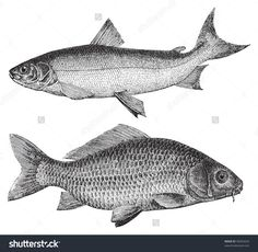 Maraene (Coregonus maraena) above and Common carp (Cyprinus carpio) under / vintage illustration from Meyers Konversations-Lexikon 1897 - stock vector Fish Sketch, Common Carp, Engraving Illustration, Vintage Fishing, En Stock, Royalty Free Stock Photos, Pictures, Image, Drawing Style