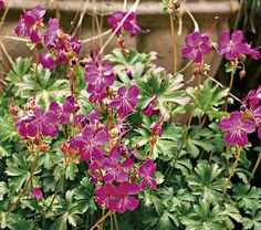 Geranium x cantabrigiense Crystal Rose