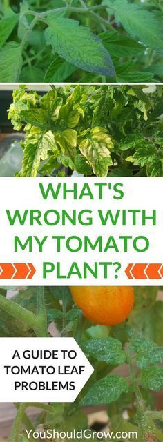 "Why are your tomato's leaves yellow, spotty, or wilted? Homegrown tomatoes at home can suffer from a variety of pest and disease issues. If you're wondering, ""What's wrong with my tomato plant?"" Use this guide to tomato leaf problems to figure out what's wrong and what you can do about it. via @whippoorwillgar"