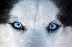 Husky eyes via Alanna Chasin (AKA the Dog Buddha) on Facebook