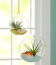Indoor gardening with air plants.