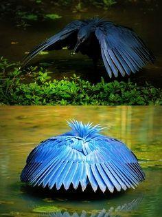 Black heron shading water so fish will be drawn to the shade.