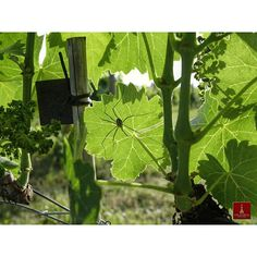 Being 100% #Organic requires greater time and attention spent in the #Vineyards seedling However, this provides great #biodiversity and an ideal #environment for #Vines and all other plants and animals. wine_glass #coldorcia #Tuscany #nearco - See more at: http://iconosquare.com/tag/coldorcia#/list