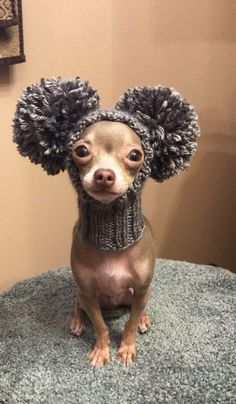 Effective Potty Training Chihuahua Consistency Is Key Ideas. Brilliant Potty Training Chihuahua Consistency Is Key Ideas. Funny Animal Pictures, Cute Funny Animals, Cute Baby Animals, Dog Pictures, Funny Dogs, Animals And Pets, Dog Photos, Cute Chihuahua, Chihuahua Puppies