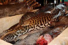 tiger fish - Google Search