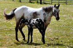 spotted mule, Appaloosa mom