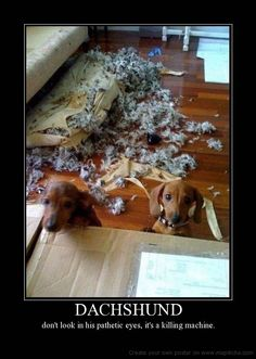 Funny Dachshund Posters | DACHSHUND don't look in his pathetic eyes it's a killing machine ...