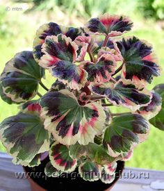 Beautiful Flowers Images, Flower Images, Love Flowers, Geranium Pratense, Scented Geranium, Geranium Flower, Strange Flowers, Big Garden, Rare Plants