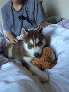 Koda loves his teddy bear #siberianhusky #puppy #teddybear