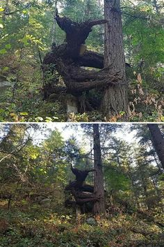 Troll looking tree growth Fast Crazy Nature Deals. Creepy, Scary, Weird Trees, Tree Faces, Night Forest, Forest Light, Unique Trees, Walk In The Woods, Nature Tree