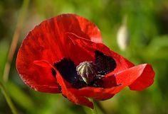 Joli Coquelicot - Le coquelicot (Papaver rhoeas) est une espèce de plantes dicotylédones de la famille des Papaveraceae, originaire d'Eurasie.  C'est une plante herbacée annuelle, très abondante dans les terrains fraîchement remués à partir du printemps, qui se distingue par la couleur rouge de ses fleurs et par le fait qu'elle forme souvent de grands tapis colorés visibles de très loin.. Elle appartient au groupe des plantes dites messicoles car elle est associée à l'agriculture depuis des…
