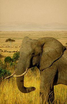 Elefante, Reserva Nacional de Masai Mara -   Elephant, Masai Mara National Reserve (August 2005)    www.vicentemendez.com