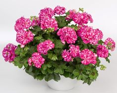 Perlargonium peltatum, Mexica Clematis, Mexica, Arctic, Gardening Tips, Ivy, Floral Wreath, Wreaths, Design, Geraniums