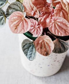 peperomia pink lady – Best Home Plants Best Indoor Plants, Indoor Garden, Garden Plants, Big Garden, Shade Garden, Pink Lady, Lady Lady, Art Floral Japonais, Cactus Plante