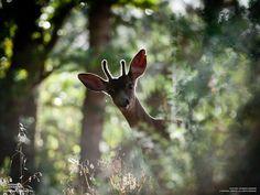 curious little deer