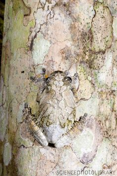 Marbled Tree Frog playing hide and seek. #camouflage #hiding #invisible