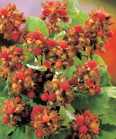 Japanese Wineberry   Trees and Shrubs from Bakker Spalding Garden Company