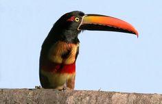 Fiery-billed Aracari Toucan - Costa Rica (Photo Vivek Tiwari)