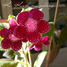 Kohleria Karl Lindberg - own growing