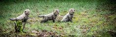 Tres pequeños cachorros de guepardo recién nacidos en el parque Beekse Bergen, Hilvarenbeek, Holanda (Rob Engelaar, 2017)