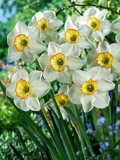 'Raspberry Ring' daffodil.