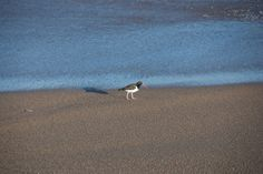 American oystercatcher on the beach of Punta del Este, Uruguay. It has distinctive black and white plumage and a long, bright orange beak. In spanish is called ostrero común americano, también llamado ostrero pío americano.
