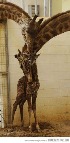 Giraffe Family Hug…