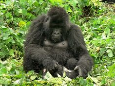 Mamma gorilla piange il suo piccolo