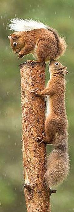 AMAZING...............  Red squirrel SHOT  #photo by  Gladys Klip on flickr.com