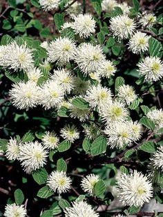 2-Fothergilla Gardenii..