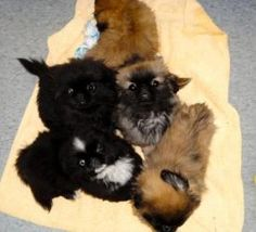 Pekingese puppies is an adopted Pekingese Dog in Springfield, MO.  Pekingese puppies are 10 weeks old. There are two females and three males. We are taking multiple applications for these darling litt...