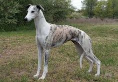 whippets - Google Search