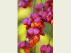 Rob Whitworth. Euonymus europaeus berries.