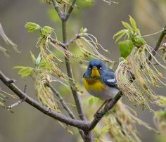 """Northern Parula is a small""""New World Warbler. It's breeding range is Eastern United States & Eastern Southern Canada by Becky Wylie. Wildcat Glades Conservation & Audubon Center"""
