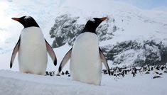 Penguins & polar bears: Same same but different | Peregrine Adventures
