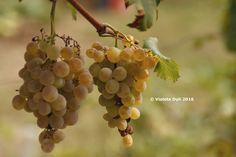 Uva bianca  rimasta per il vino