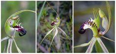 Green-comb Spider Orchid: Caladenia dilatata - From Tasmania, Australia