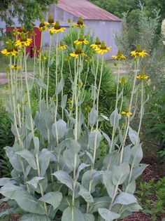 Rudbeckia maxima (3?) - One of my few gold-flowered plants out front, but obviously I'm in it for the foliage.