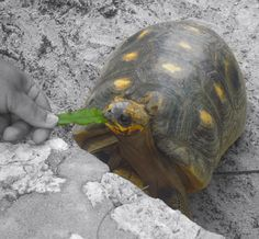 Cute red footed tortoise eating a leaf in Antigua's grounds.