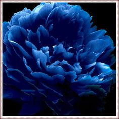 10PC blue peony seeds. The most beautiful and fragrant flower garden seeds. Potted ornamental flowers plants