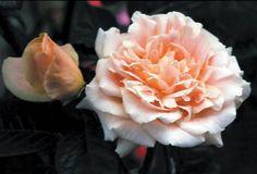 Folksinger - Winter Hardy Roses - Roses - Heirloom Roses