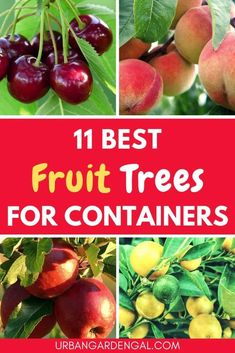 If you d like to grow your own fruit at home these fruit trees for containers are a great start Read on to learn which fruit trees grow best in pots fruittrees containergardening containergarden gardening Potted Fruit Trees, Fruit Trees In Containers, Dwarf Fruit Trees, Growing Fruit Trees, Citrus Trees, Growing Tree, Container Plants, Growing Plants, Container Gardening