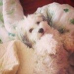 jasminnazarian (jasminnazarian) on Instagram | iPhoneogram. Havanese