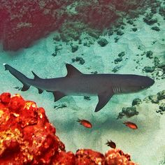 White Tip Reef Shark in Kauai