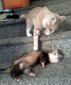 Kitty and ferret